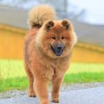 Akira vom Bärenschlössle